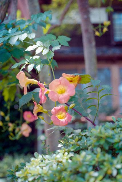 凌霄花(Campsis grandiflora)